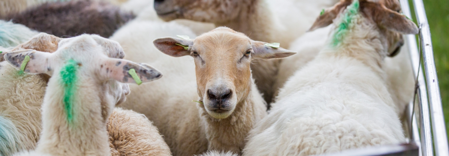 Header image Schapen drijven - Downsouth Events - 3
